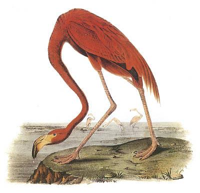 Greater Flamingos Painting - Greater Flamingo by John James Audubon