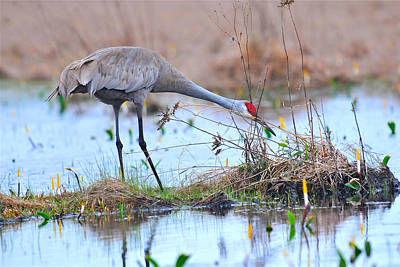 Photograph - Greater Sandhill Crane by Alan Lenk