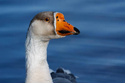 Photograph - Greater-white Fronted Goose by Ann Murphy