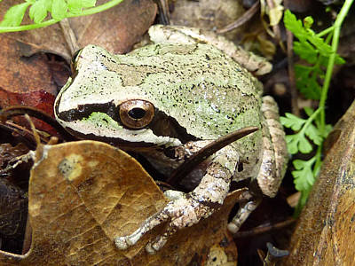 Print featuring the photograph Green And Brown Frog by Cindy Wright