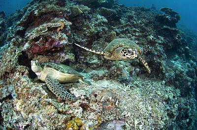 Small Turtle Photograph - Green And Hawksbill Turtles by Matthew Oldfield