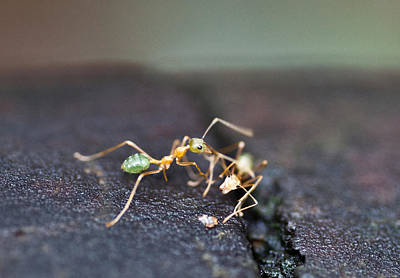 Photograph - Green Ant Meeting by Carole Hinding