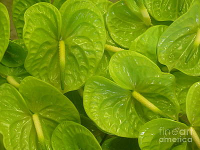 Photograph - Green Anthuriums by Terri Thompson
