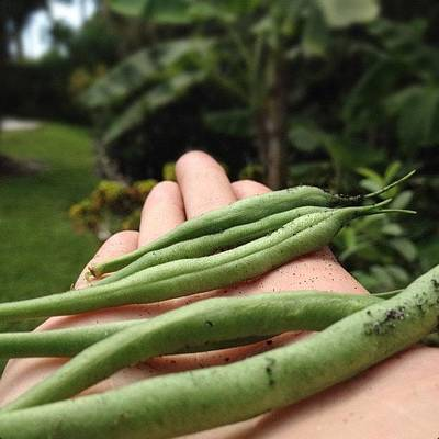 Healthy Wall Art - Photograph - Green Beans From My Moms Garden! by Emily W
