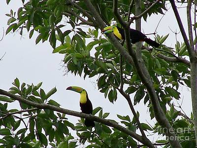 Green Billed Jungle Toucans Original by William Patterson