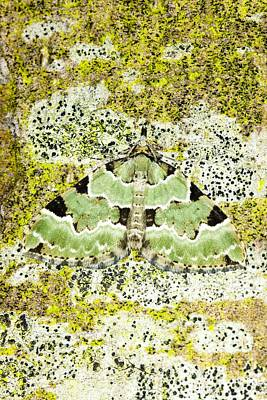 Green Carpet Moth Art Print by Dr Keith Wheeler