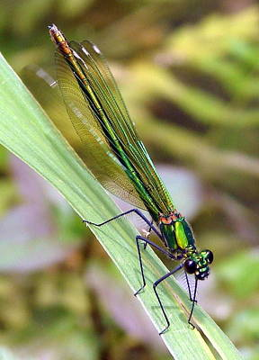 Photograph - Green Damselfly by Ramona Johnston