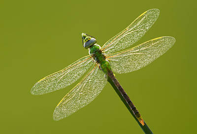 Moody Trees - Green darner by Mircea Costina Photography