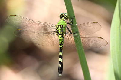 Nautical Animals - Green Dragonfly - In Hiding by Travis Truelove