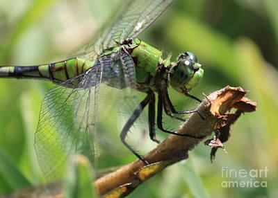 Dragonfly Macro Photograph - Green Dragonfly In Marsh by Carol Groenen