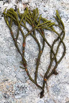 Photograph - Green Fleece Seaweed by Ted Kinsman