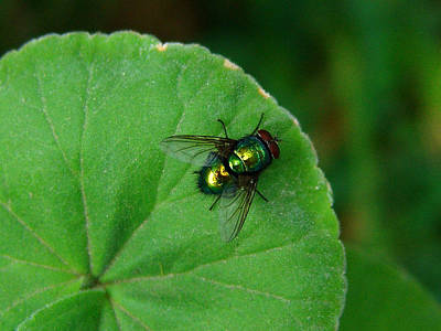 Photograph - Green Fly by Alessandro Della Pietra
