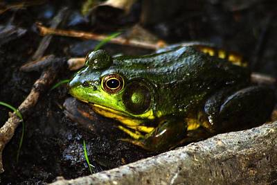 Photograph - Green Frog - Rana Clamitans by Scott Hovind