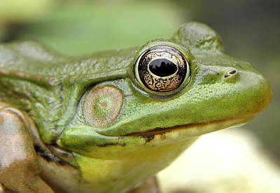 Photograph - Green Frog by Griffin Harris