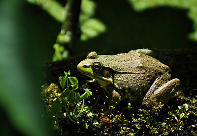 Photograph - Green Frog Rana Clamitans by Rebecca Sherman