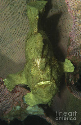 Green Frogfish In Sponge, North Art Print by Mathieu Meur