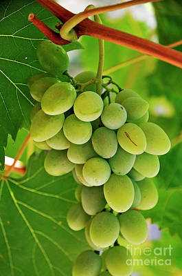 White Grape Photograph - Green Grape And Vine Leaves by Sami Sarkis