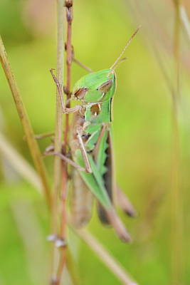 Photograph - Green Grasshopper by JD Grimes