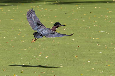 1-war Is Hell Royalty Free Images - Green Heron in Flight Royalty-Free Image by Stephanie McDowell