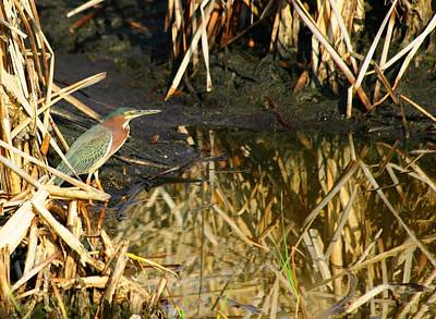 Art Print featuring the photograph Green Heron by Jeanne Andrews