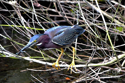 Art Print featuring the photograph Green Heron by Pravine Chester
