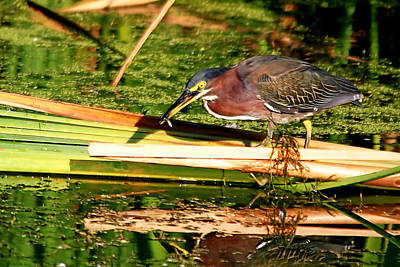 Photograph - Green Heron With Minnow by Ira Runyan