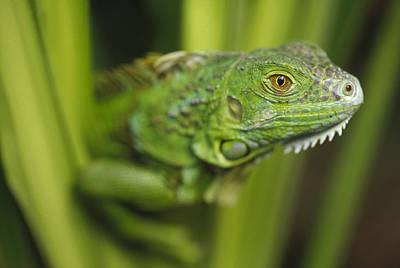 Photograph - Green Iguana Amid Green Leaves Roatan by Tim Fitzharris