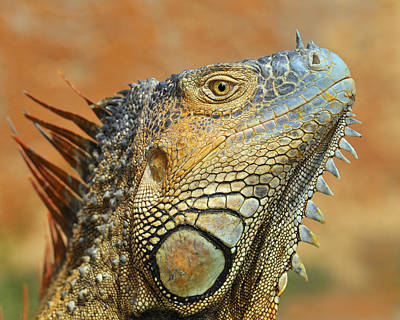 Photograph - Green Iguana by Tony Beck