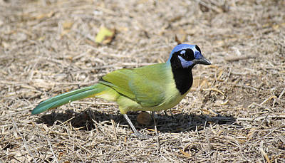 Photograph - Green Jay On The Ground by Roena King