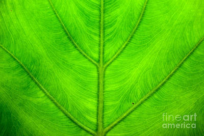 Green Leaf Texture Original by Jomphong Polprasart