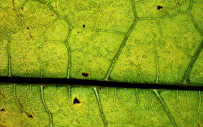 Photograph - Green Leaf With Cells by Jennifer Bright