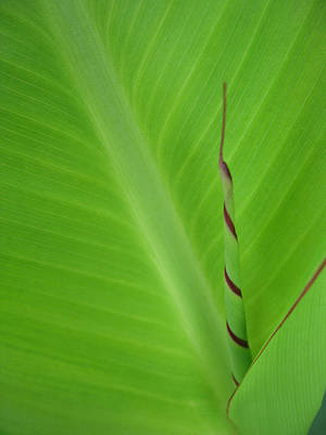 Green Leaf With Spiral New Growth Print by Nikki Marie Smith