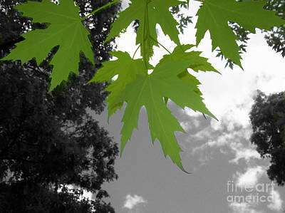 Photograph - Green Maple Leaves by Mary Mikawoz