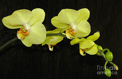 Photograph - Green Orchids by Cindy Lee Longhini