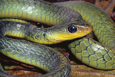 Photograph - Green Racer Chironius Exoletus by Michael & Patricia Fogden