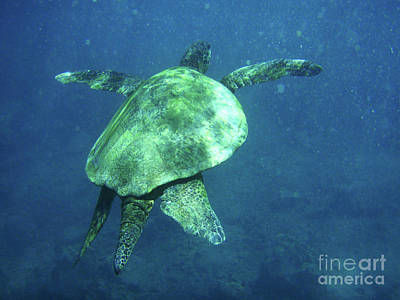 Green Sea Turtle Photograph - Green Sea Turtle 1 by Bob Christopher