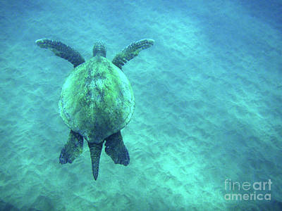 Green Sea Turtle Photograph - Green Sea Turtle 3 by Bob Christopher