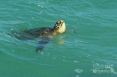 Green Sea Turtle Photograph - Green Sea Turtle 4 by Bob Christopher