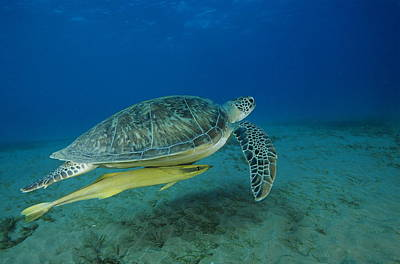 Green Sea Turtle Photograph - Green Sea Turtle by Alexis Rosenfeld