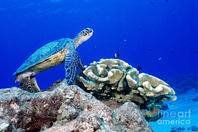 Chelonian Photograph - Green Sea Turtle by Andrew G Wood and Photo Researchers