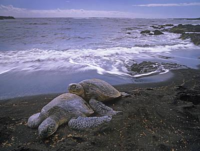 Green Sea Turtle Photograph - Green Sea Turtle Chelonia Mydas Pair by Tim Fitzharris