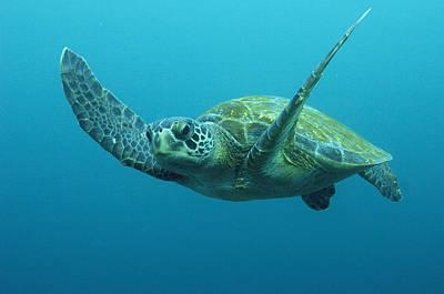 Green Sea Turtle Photograph - Green Sea Turtle Chelonia Mydas by Pete Oxford