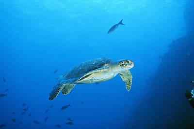 Green Sea Turtle Photograph - Green Sea Turtle, Off Sipadan Island by Joe Stancampiano