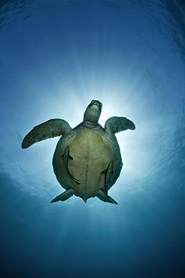Photograph - Green Sea Turtle Over Sun by Nature, underwater and art photos. www.Narchuk.com