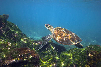 Green Sea Turtle Photograph - Green Sea Turtle by Peter Scoones