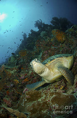 Mountain Landscape Royalty Free Images - Green Sea Turtle Resting On A Rocky Royalty-Free Image by Mathieu Meur