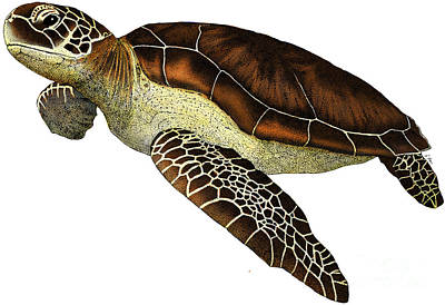 Turtle Drawing - Green Sea Turtle by Roger Hall and Photo Researchers
