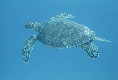 Green Sea Turtle Photograph - Green Sea Turtle Swimming Underwater by Bates Littlehales