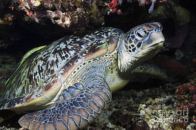Green Sea Turtle Photograph - Green Sea Turtle With A Remora by Mathieu Meur