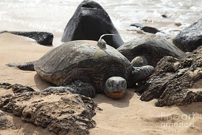 Chelonian Photograph - Green Sea Turtle With Gps by Ted Kinsman
